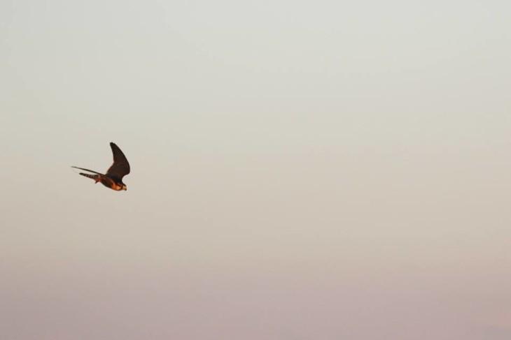 Aplomado (Rá) durante exercício de Lure-fly. Foto de Fernando Ícaro