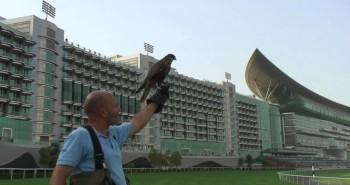 Controle de fauna (pombos, pardais e outras especies) com a utilização da falcoaria!
