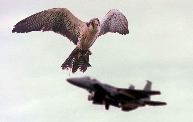 Fonte: http://www.copybook.com/airport/companies/phoenix/birdstrike-prevention-services-gallery/tbp_lakenheathbirdsdmod_01