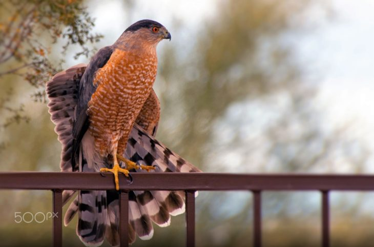 Accipiter cooperii. Fonte: https://500px.com/photo/135888511/tail-feathers-coopers-hawk-by-elaine-catling