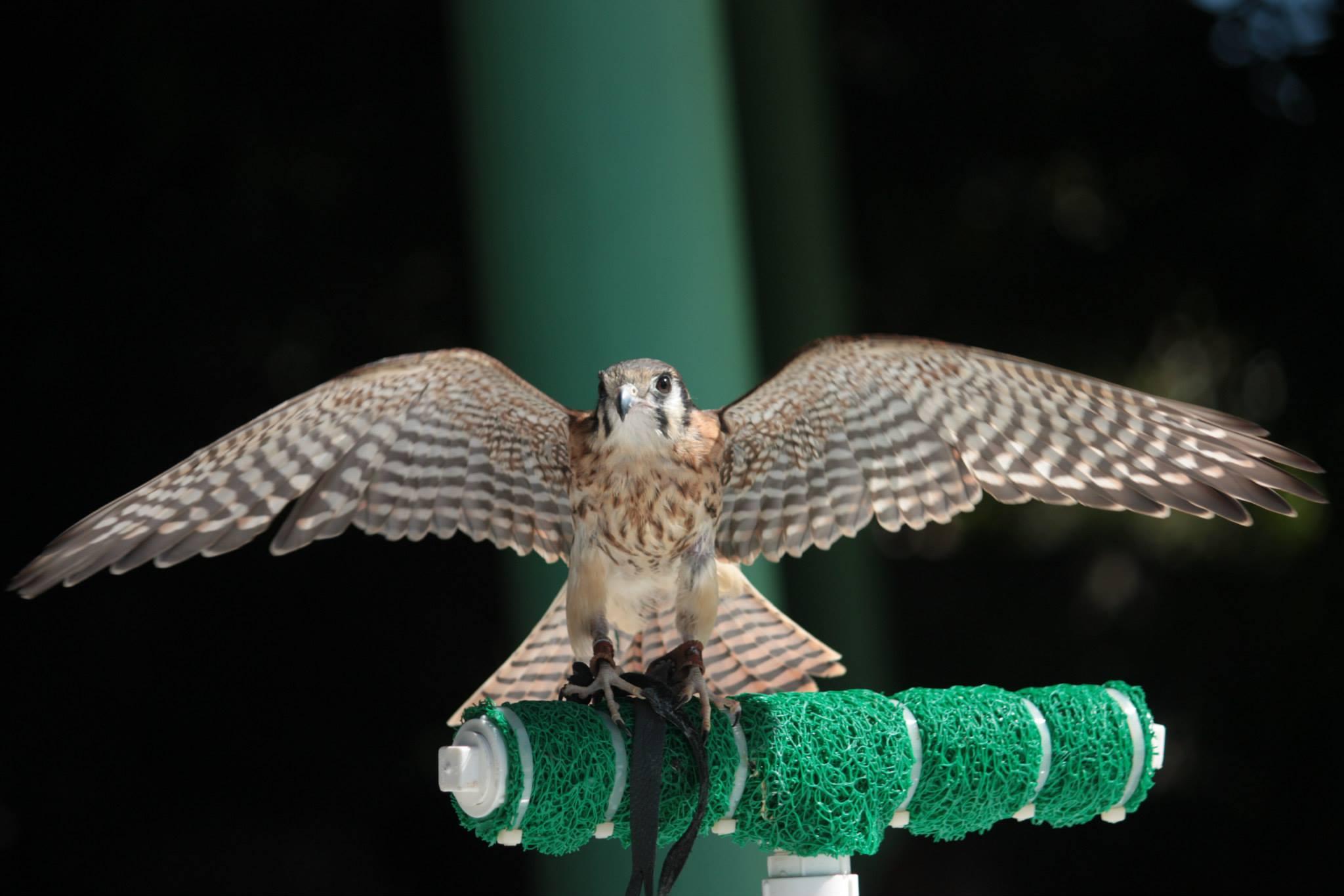 Falco sparverius, III ENF