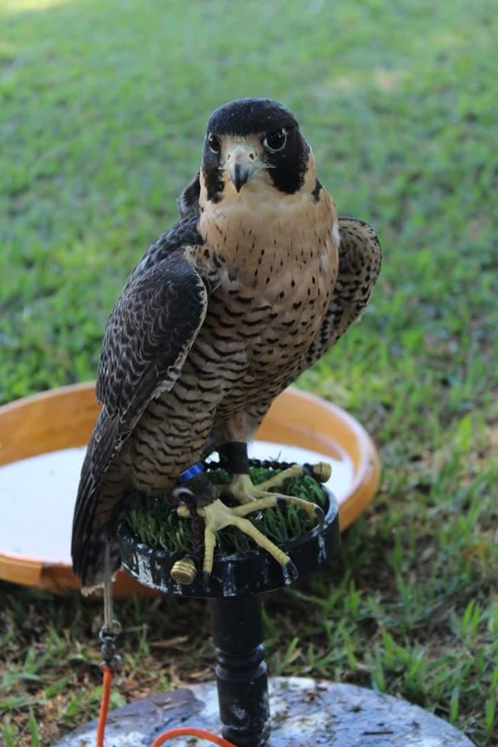 Falco peregrinus, Encontro ABFPAR 2015. Foto: Grupo Harpia